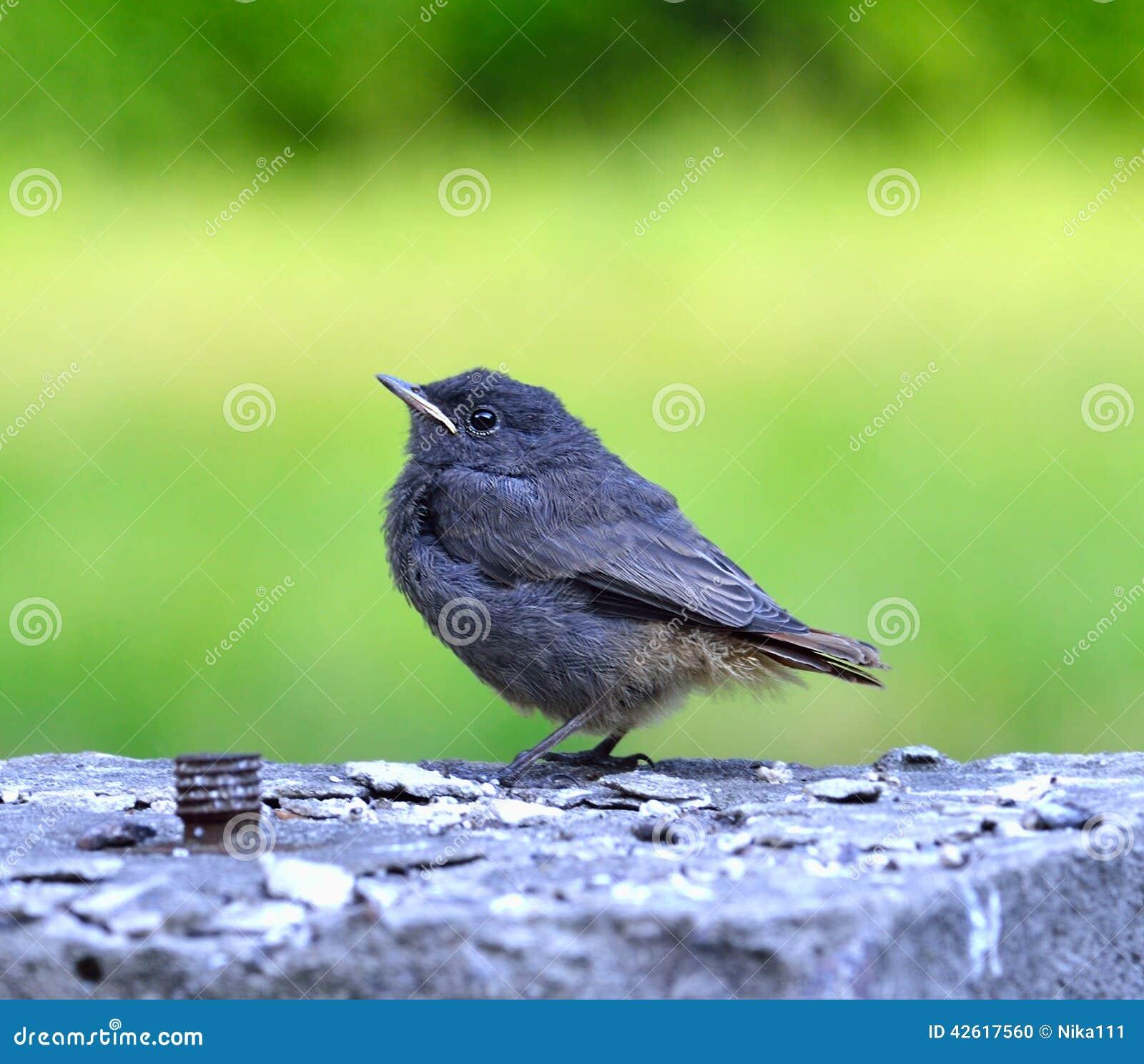 kleiner grauer schwarzer vogel auf dem gr nen hintergrund stockfoto bild 42617560. Black Bedroom Furniture Sets. Home Design Ideas