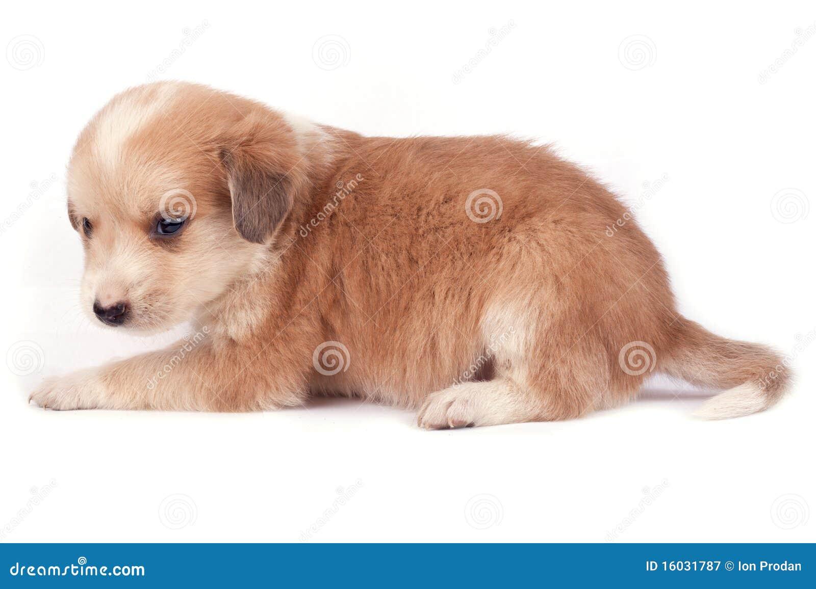 kleiner hund lizenzfreie stockfotografie bild 16031787. Black Bedroom Furniture Sets. Home Design Ideas