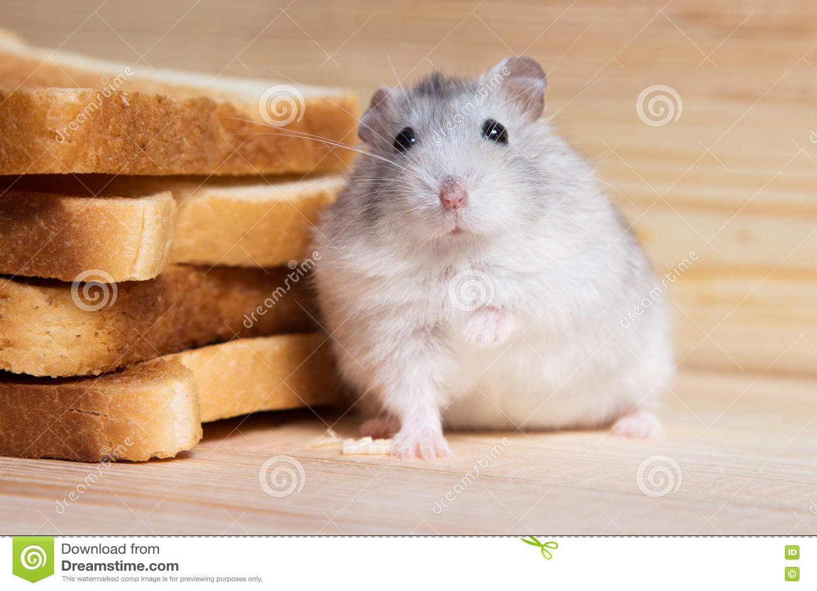 Kleiner Jungar-Hamster nahe den Brottoast
