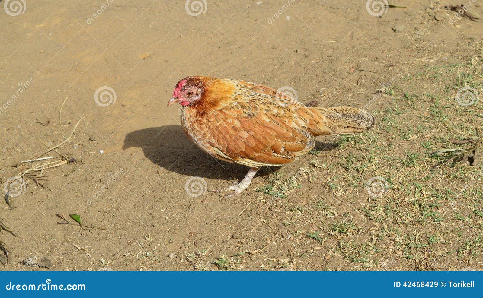Kleiner orange/roter Hen Stands im Sonnenlicht