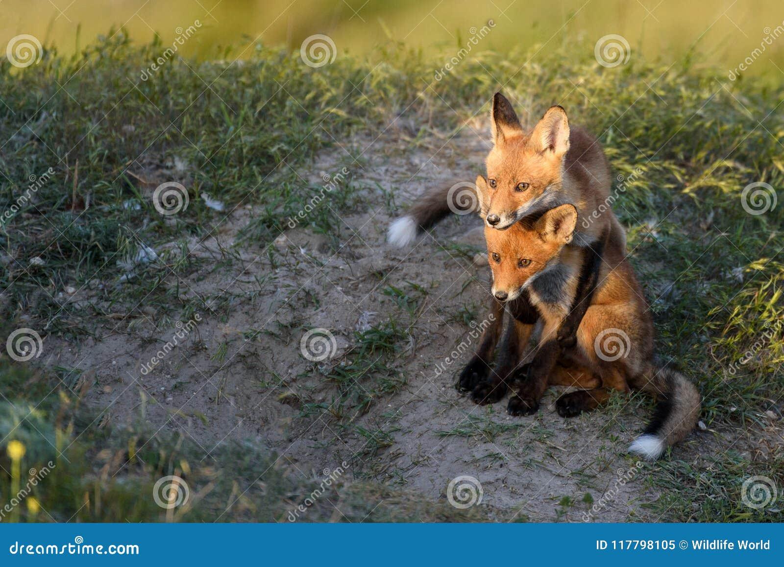 Kleiner roter Fox zwei, der nahe ihren Bauten spielt