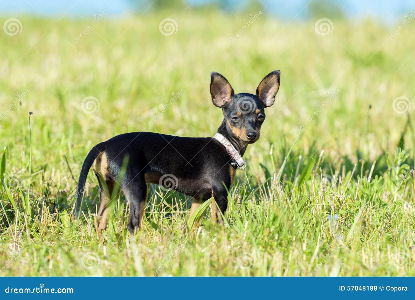 Kleiner schwarzer hund der auf einer wiese steht for Kleiner schwarzer beistelltisch