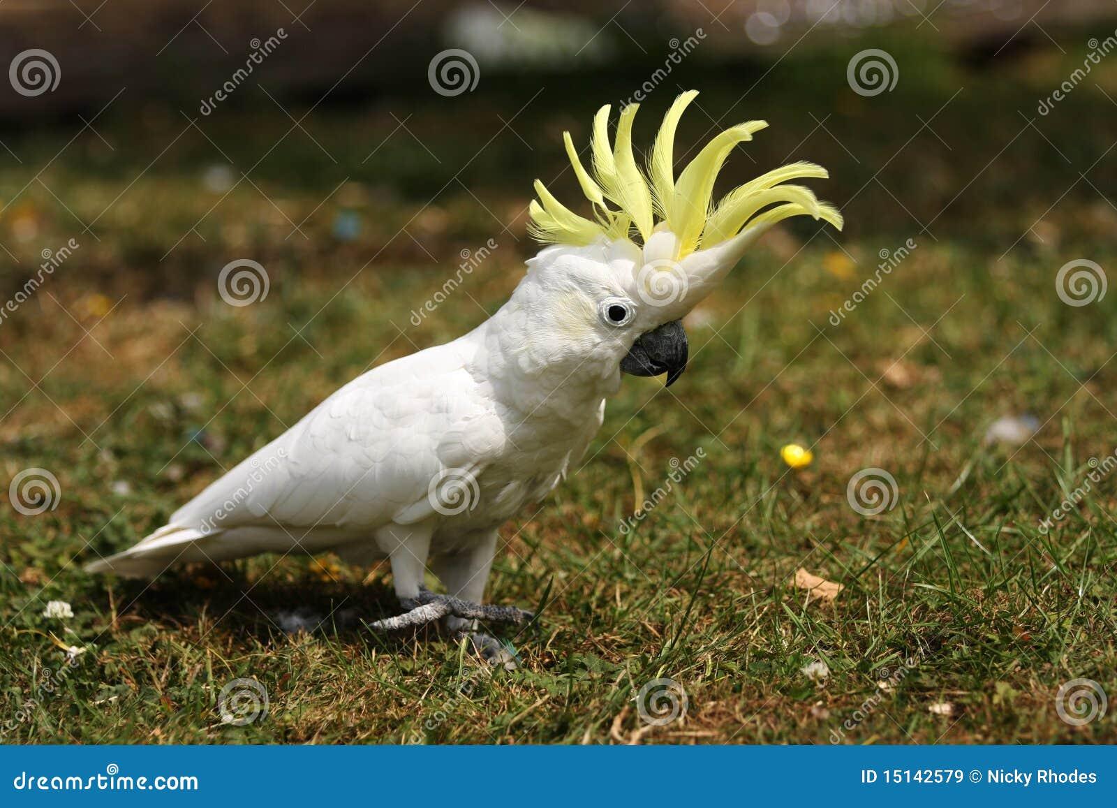 Kleiner schwefeln mit Haube Cockatoo auf Gras aus