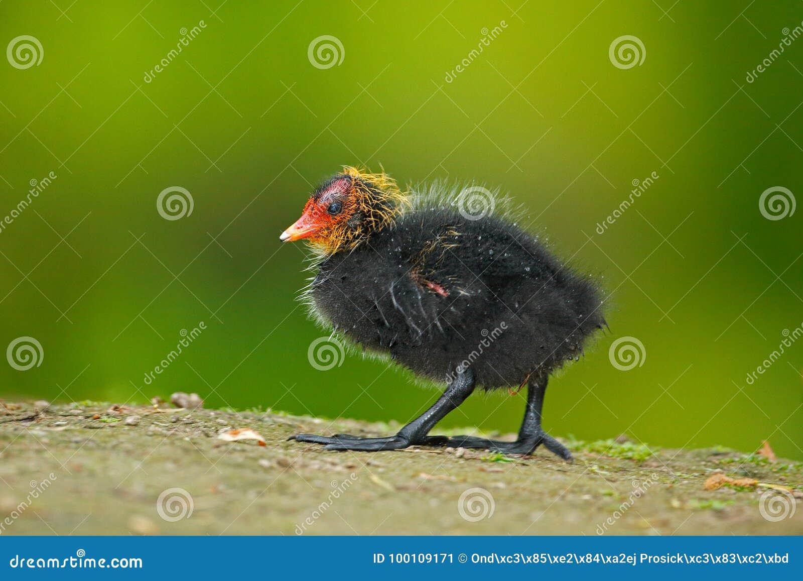 kleiner vogel junge der ente brown wasservogel mit gelbe. Black Bedroom Furniture Sets. Home Design Ideas