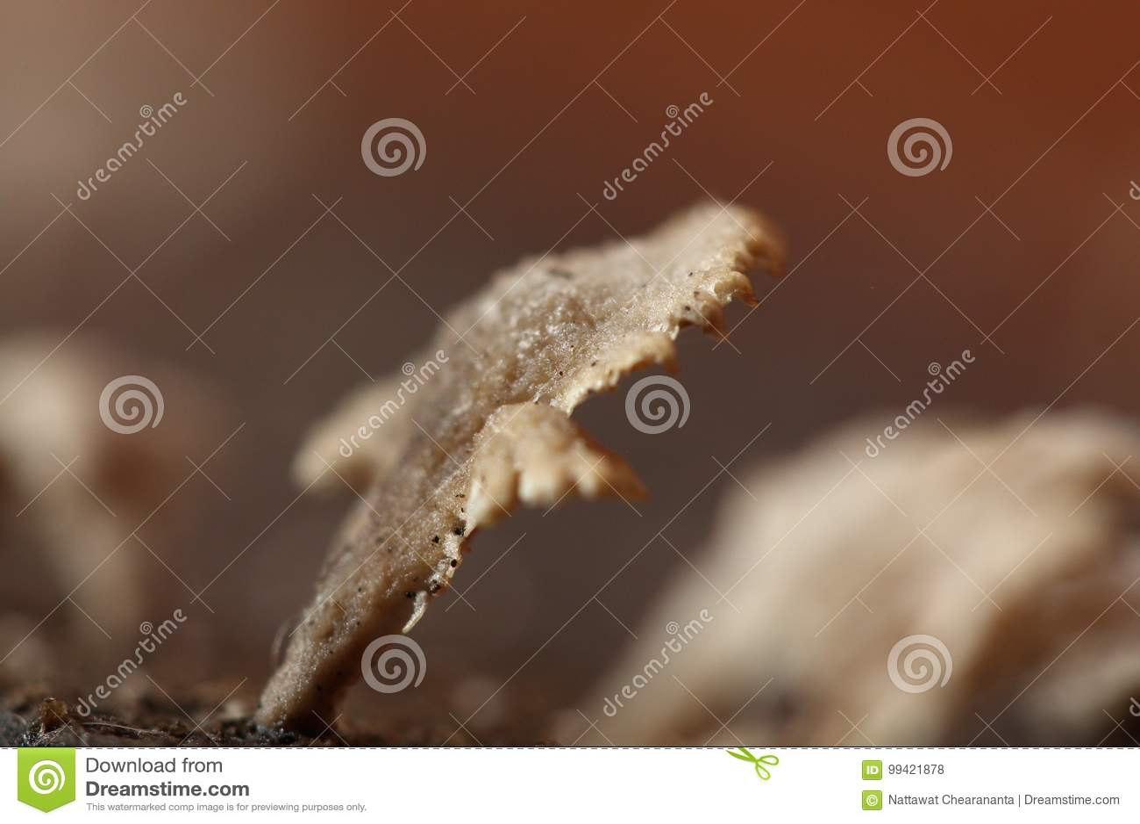 Kleiner Weisser Pilz In Der Regenjahreszeit Auf Altem Holz Der
