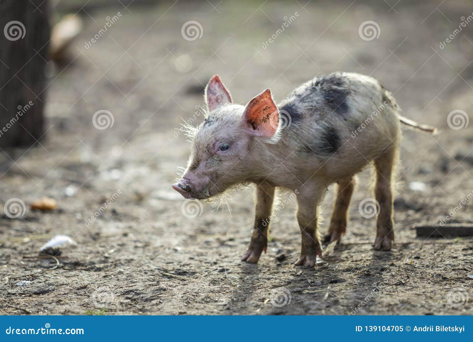 Kleines junges lustiges schmutziges Rosa und schwarzes Schweinferkel, die draußen auf sonnigem Hof steht Säen Sie die Landwirtsch
