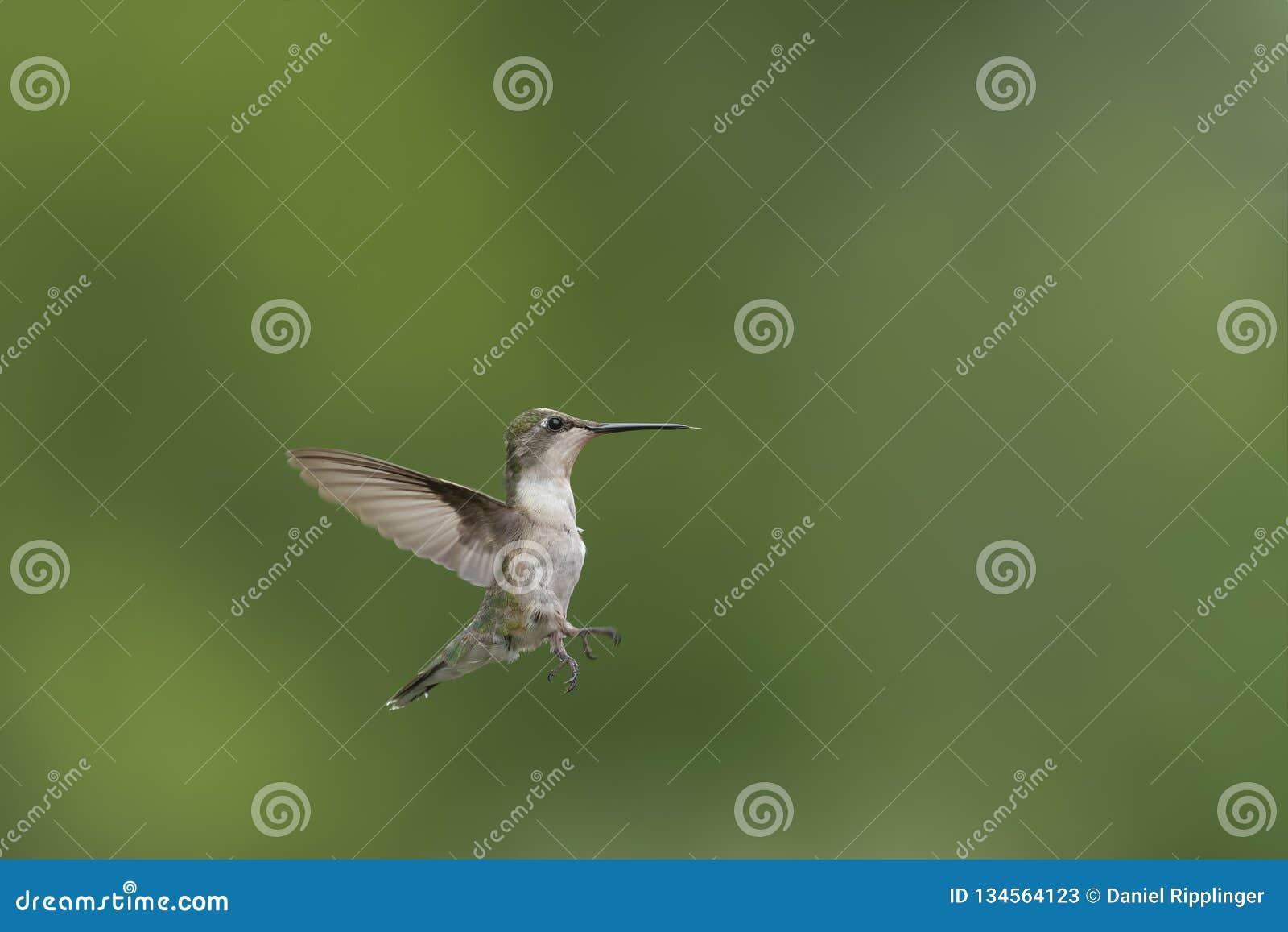 Kleines junges Rubin-throated Kolibrifliegen im Garten