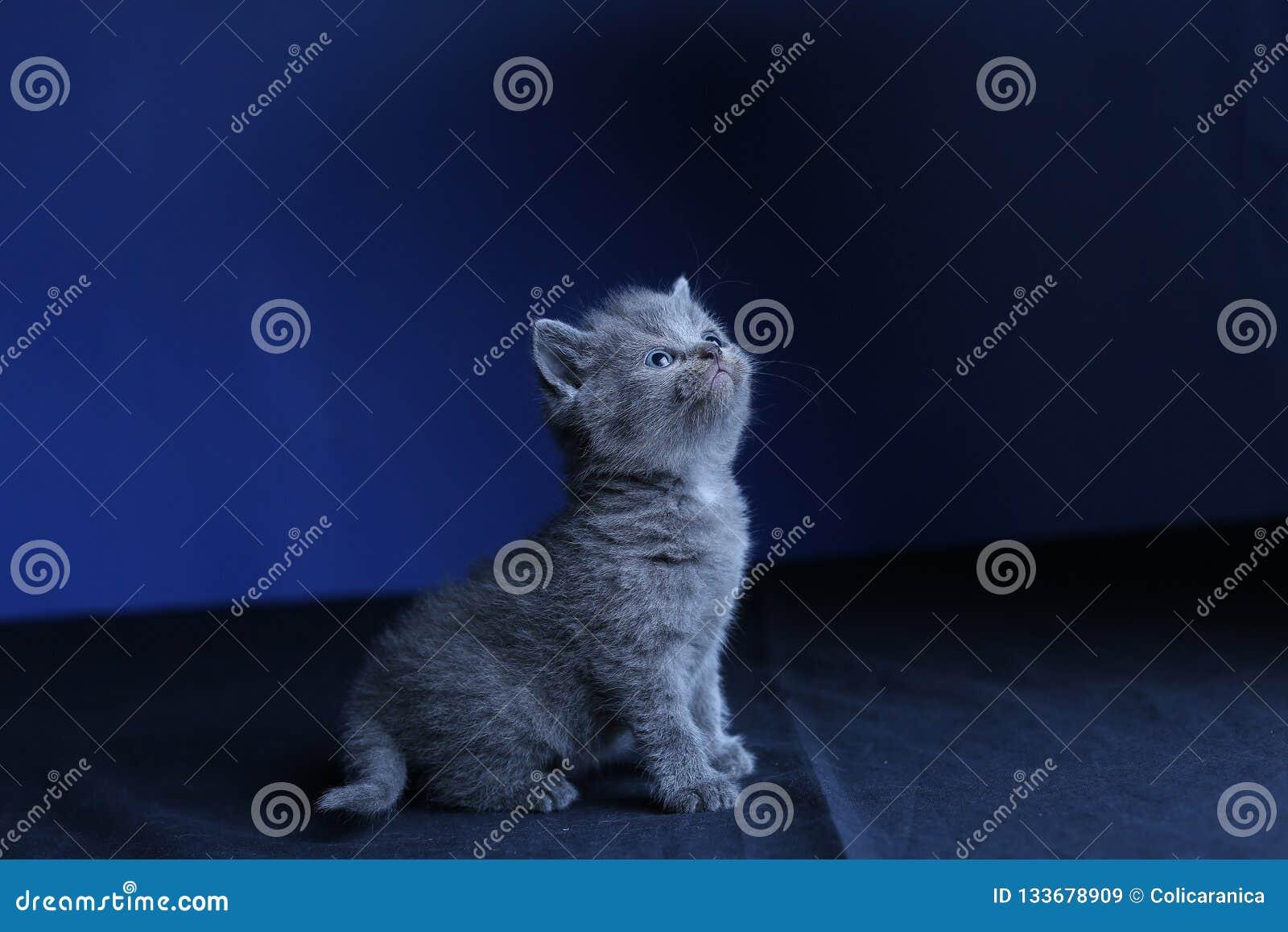 Kleines Kätzchen auf einem blauen Hintergrund, lokalisiertes Porträt