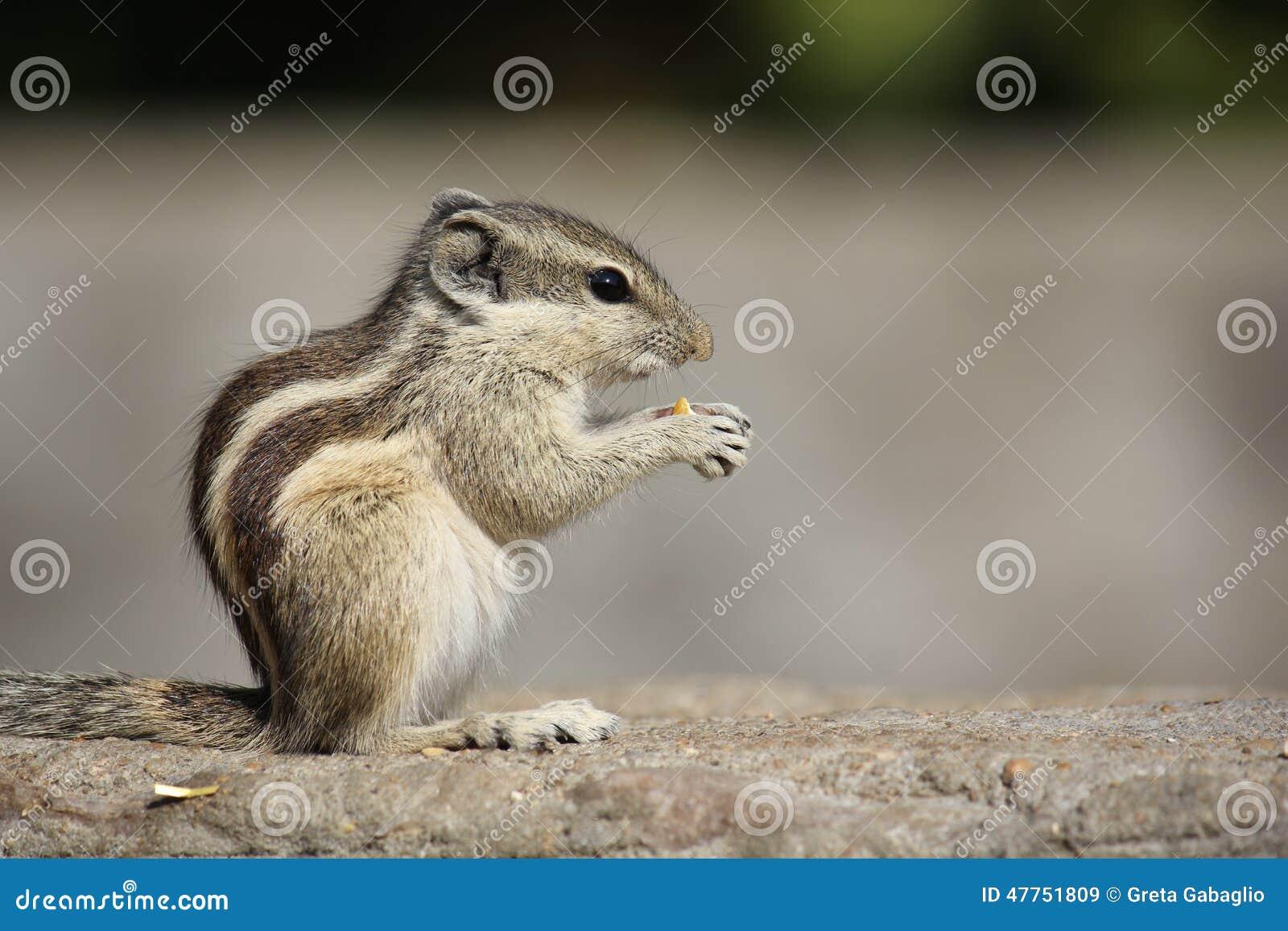 Kleines Nagetier, das eine Eichel isst