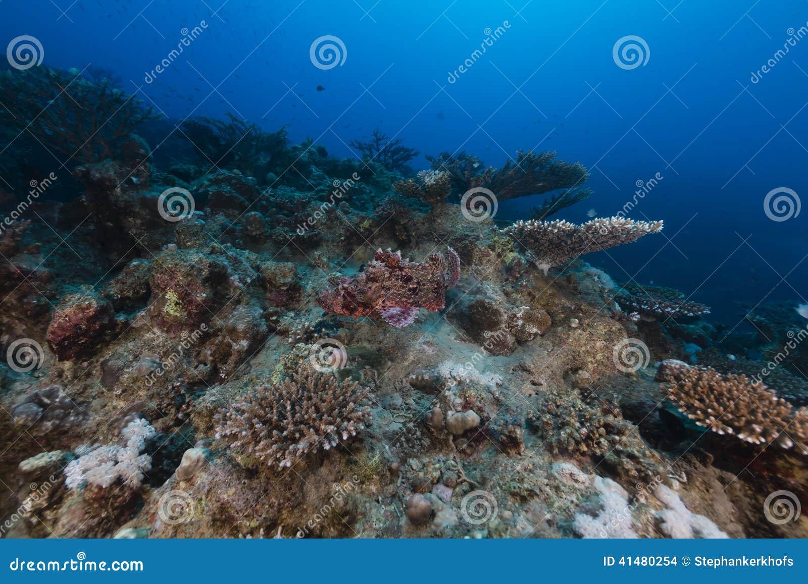 Kleinschalige scorpionfish in het Rode Overzees
