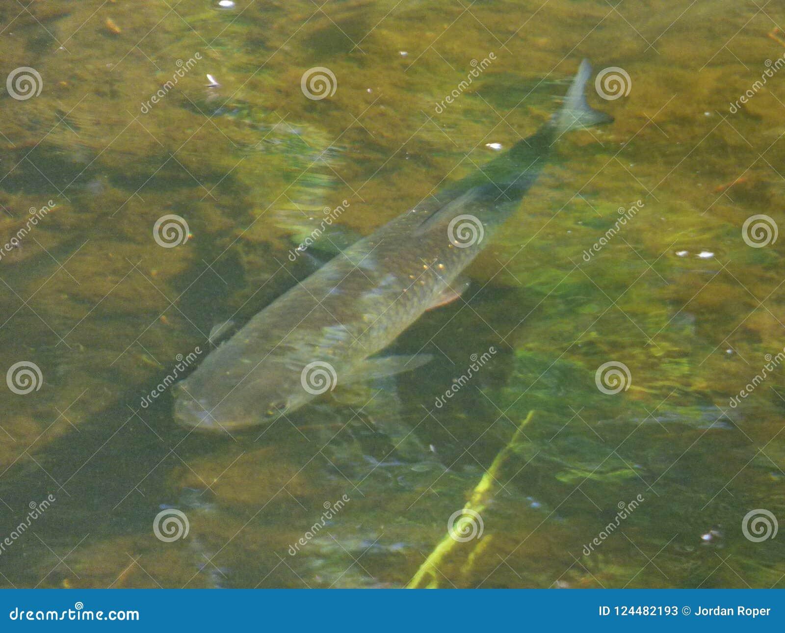 Klenia Rybi strumyk - UK
