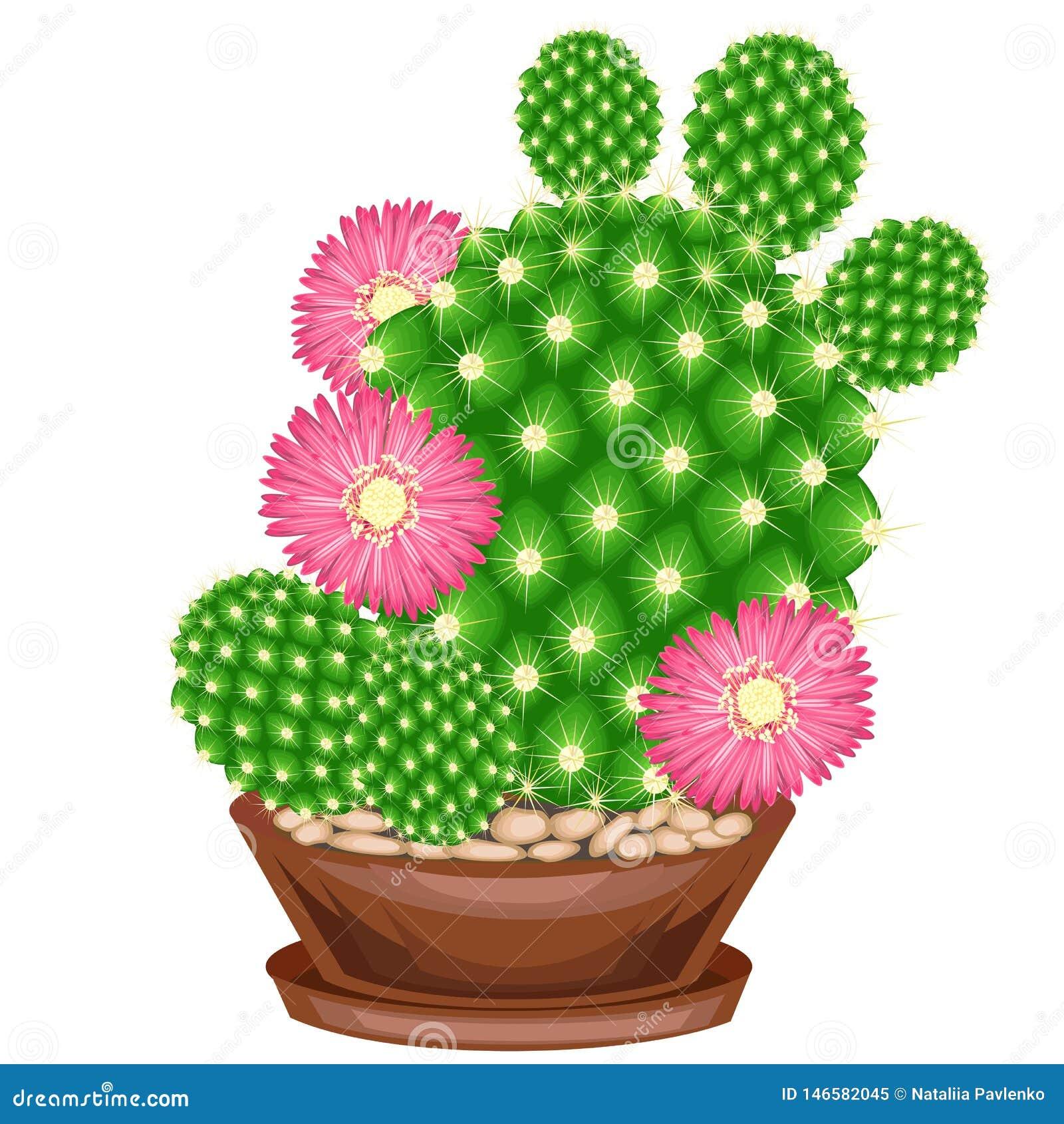 Kleurenbeeld Ingemaakte installatie in een pot De groene cactus is sferisch met knobbeltjes die met stekels worden behandeld Mamm