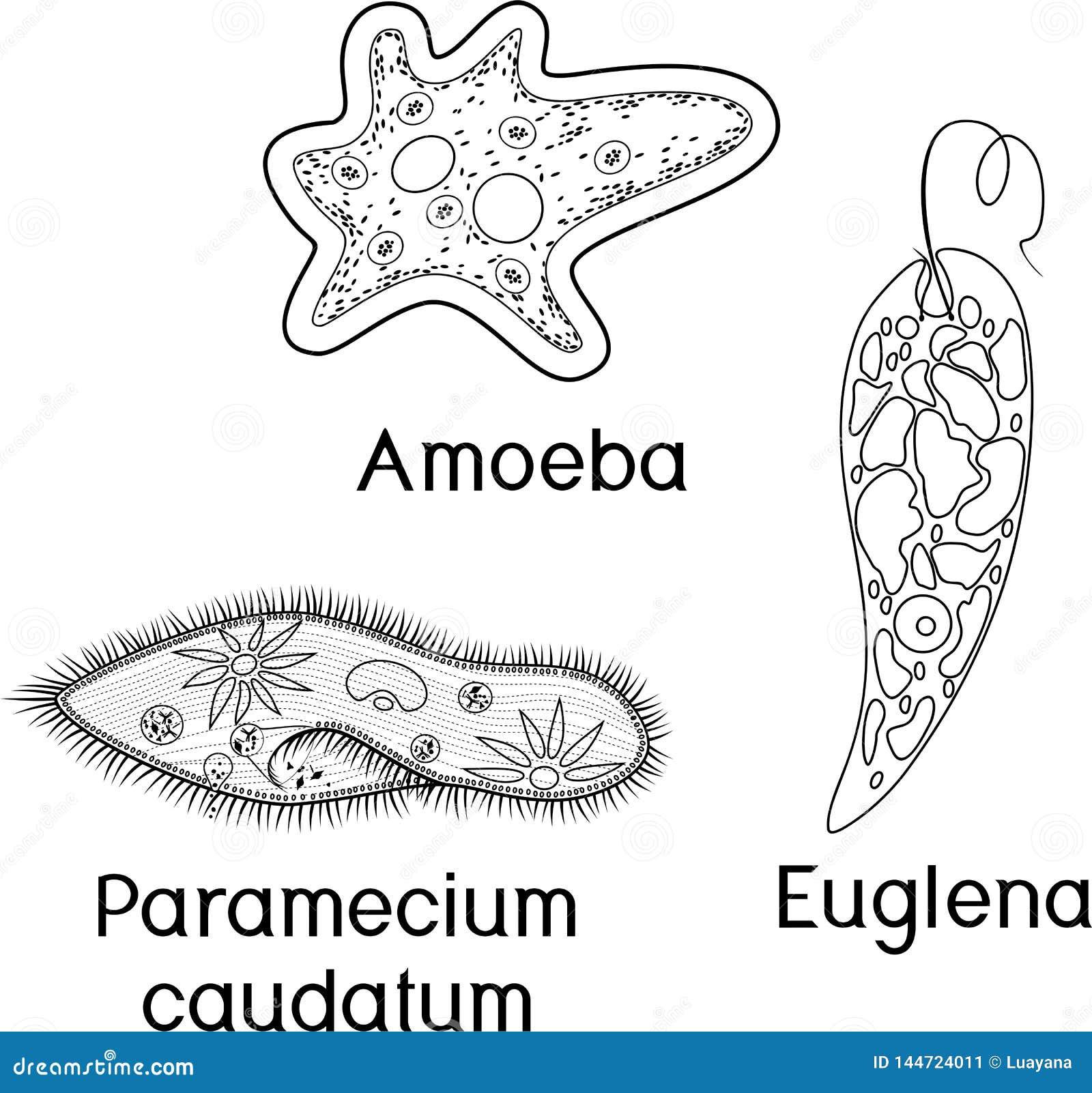 Un parazit disenteric de amoeba. Ameba orală este un parazit