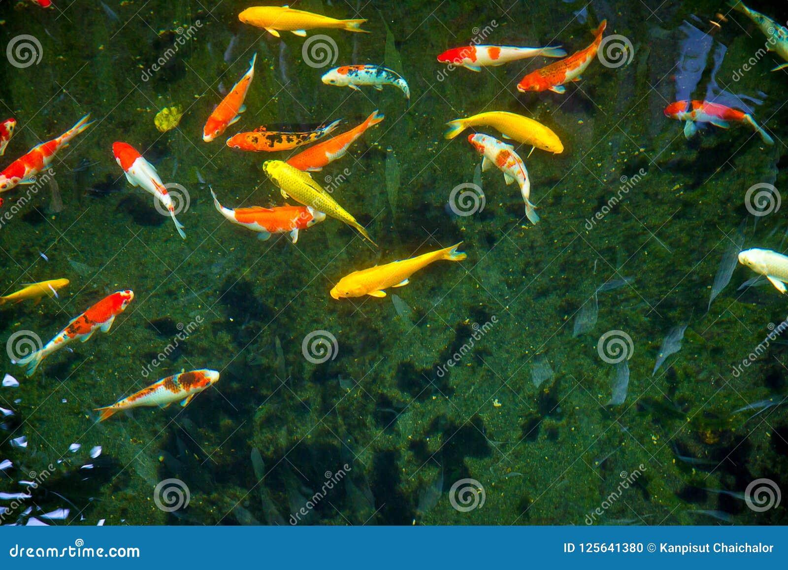 Kleurrijk Buitensporig Koi Fish met zwarte achtergrond kan gebruik zijn aan achtergrond, behang, screensaver, exemplaar-ruimte, t