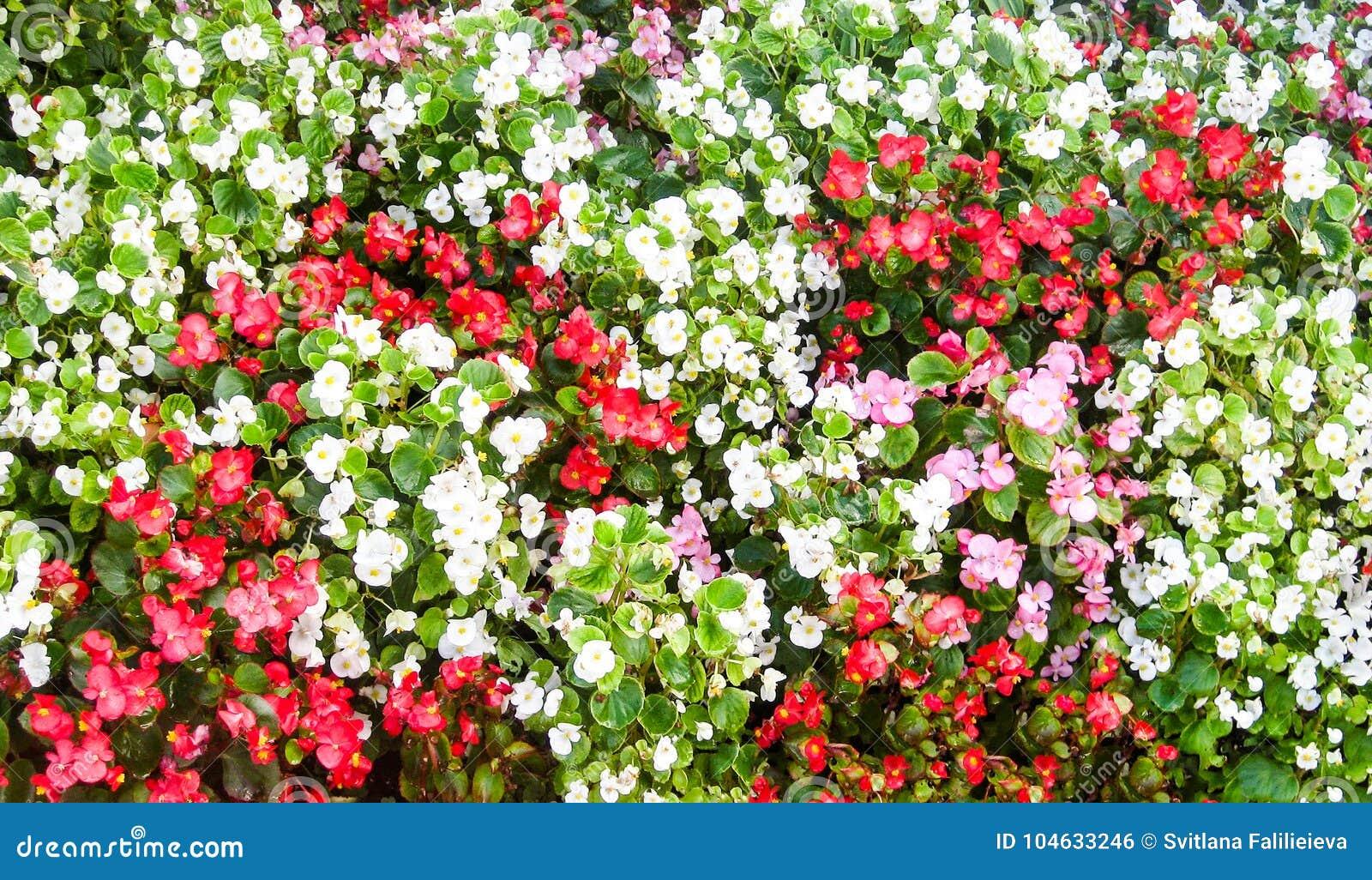 Download Kleurrijk Tapijt Van Openlucht Bloeiende Begonia Stock Foto - Afbeelding bestaande uit bloesem, installatie: 104633246