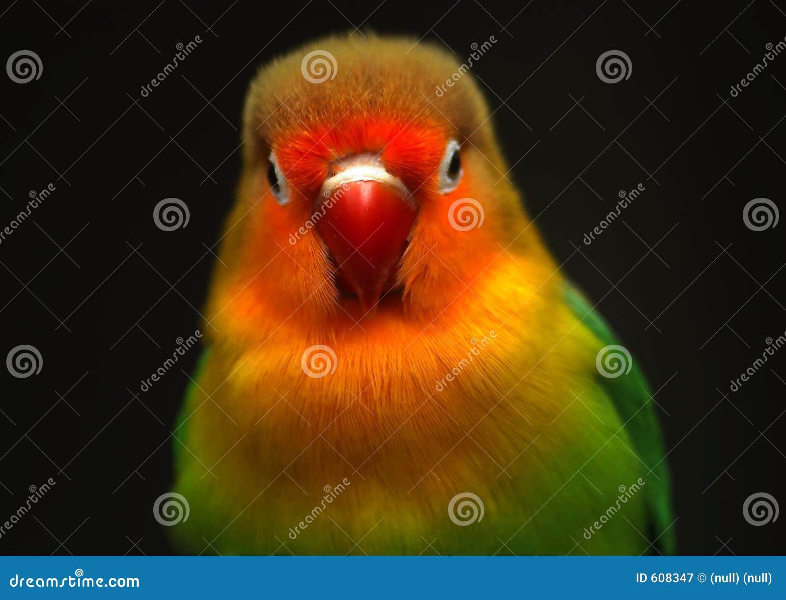 Kleurrijk weinig papegaai