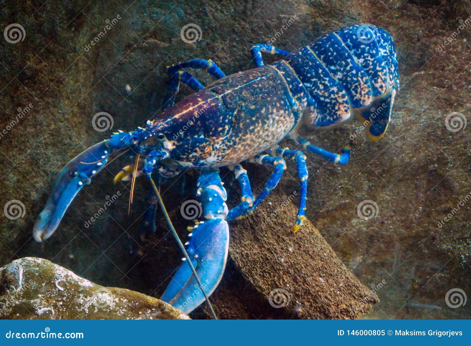 Kleurrijke Australische blauwe rivierkreeften, zeekreeft, cherax quadricarinatus in aquarium