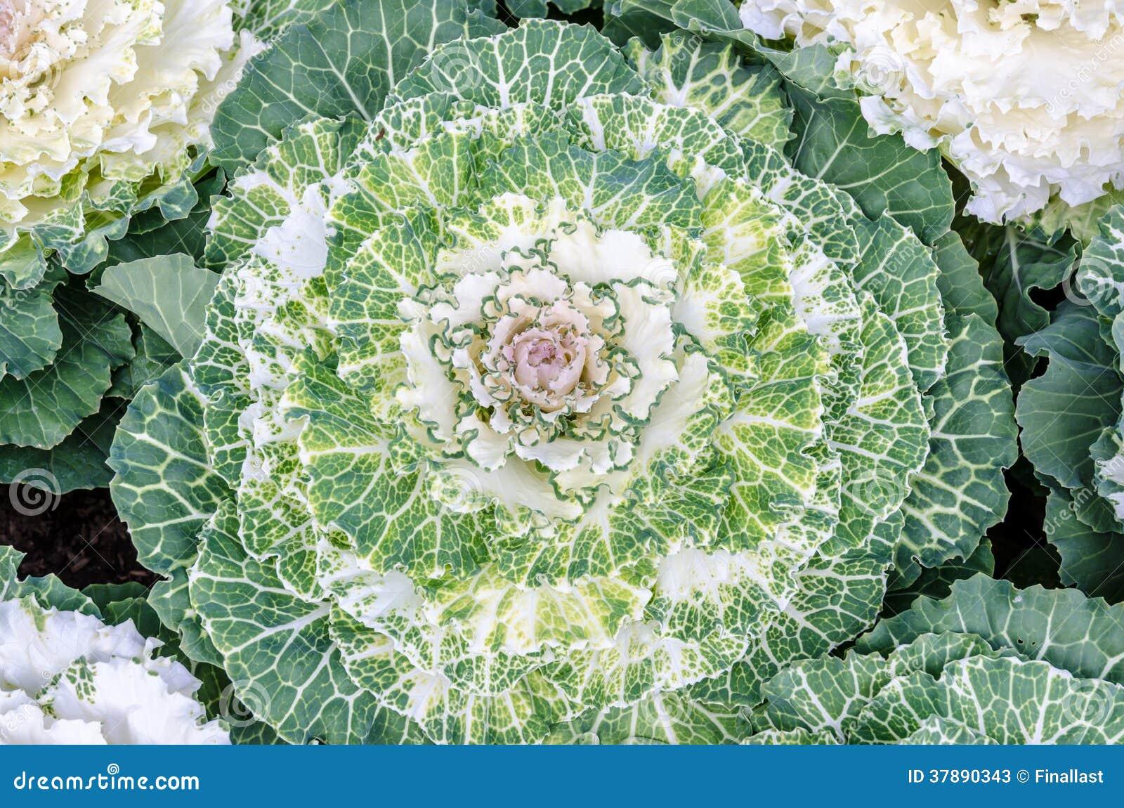 Kleurrijke bloemkool