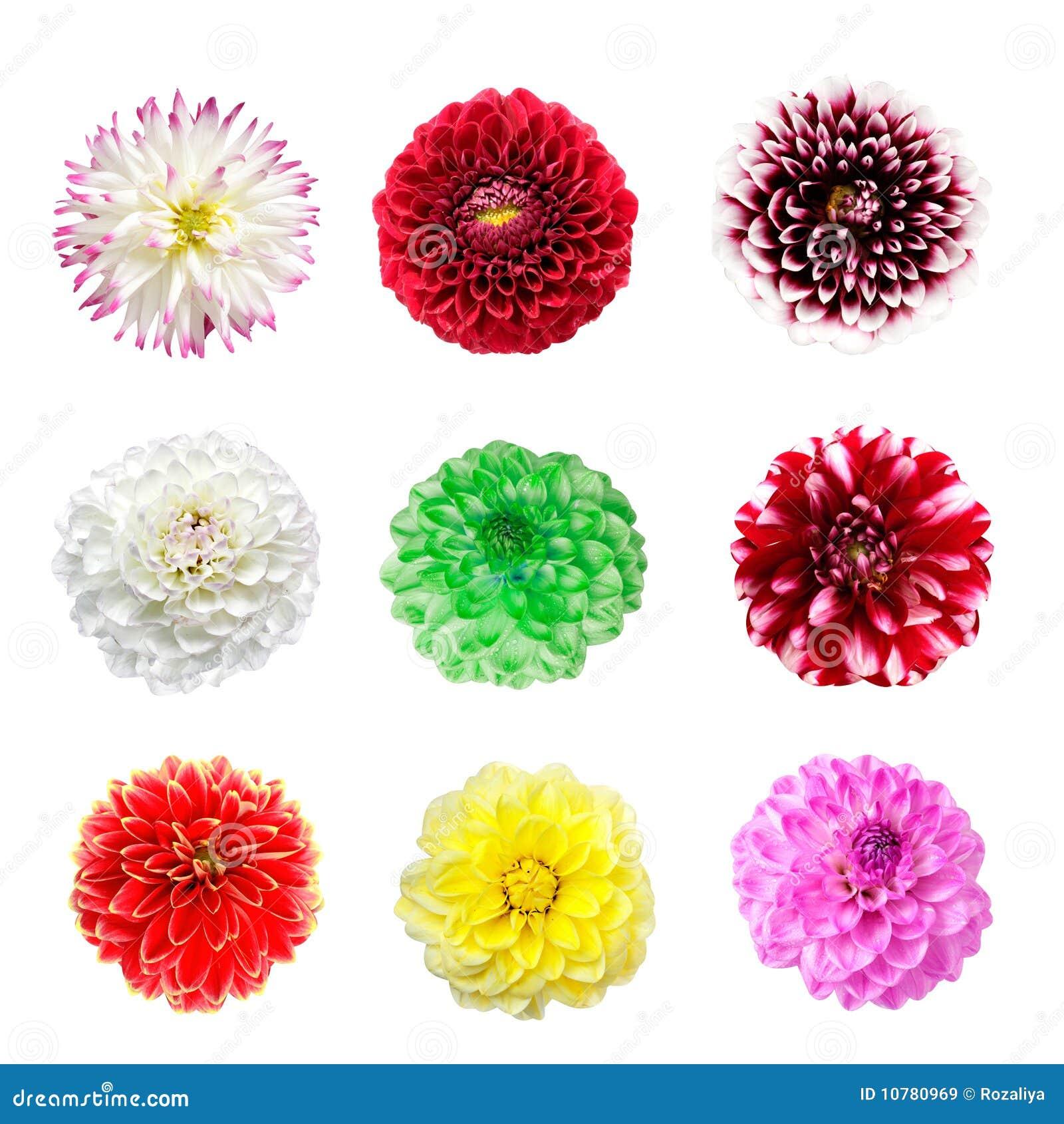 Kleurrijke dahliabloemen die op een wit worden geïsoleerdk