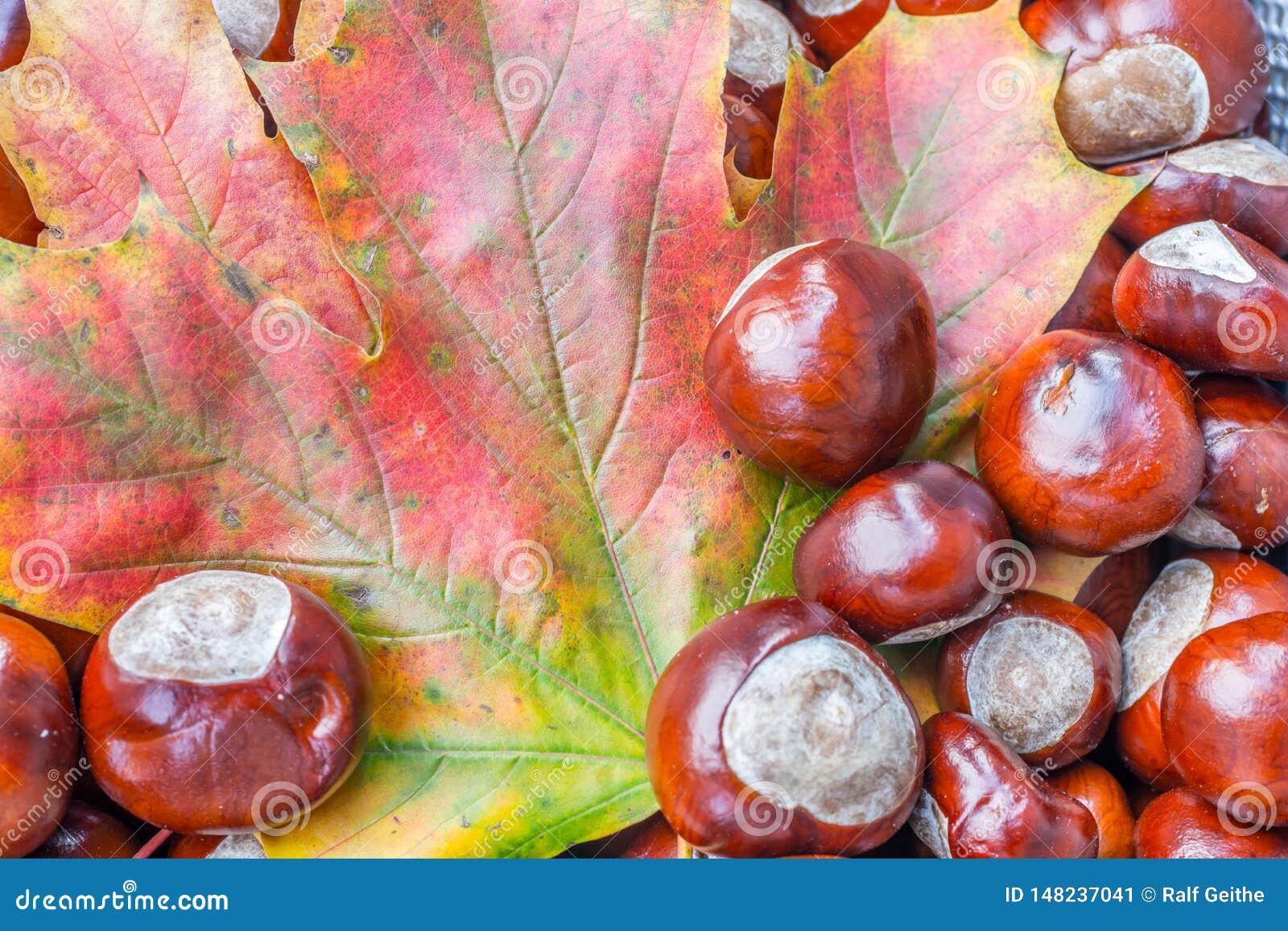 Kleurrijke de herfstbladeren met kastanjes