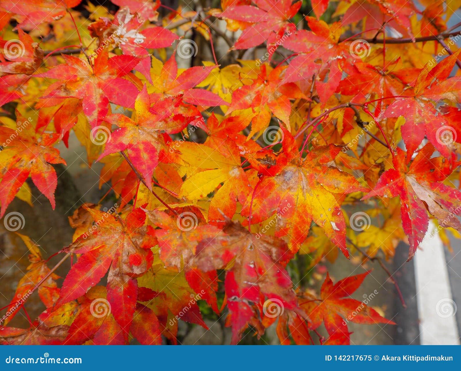 Kleurrijke esdoornbladeren