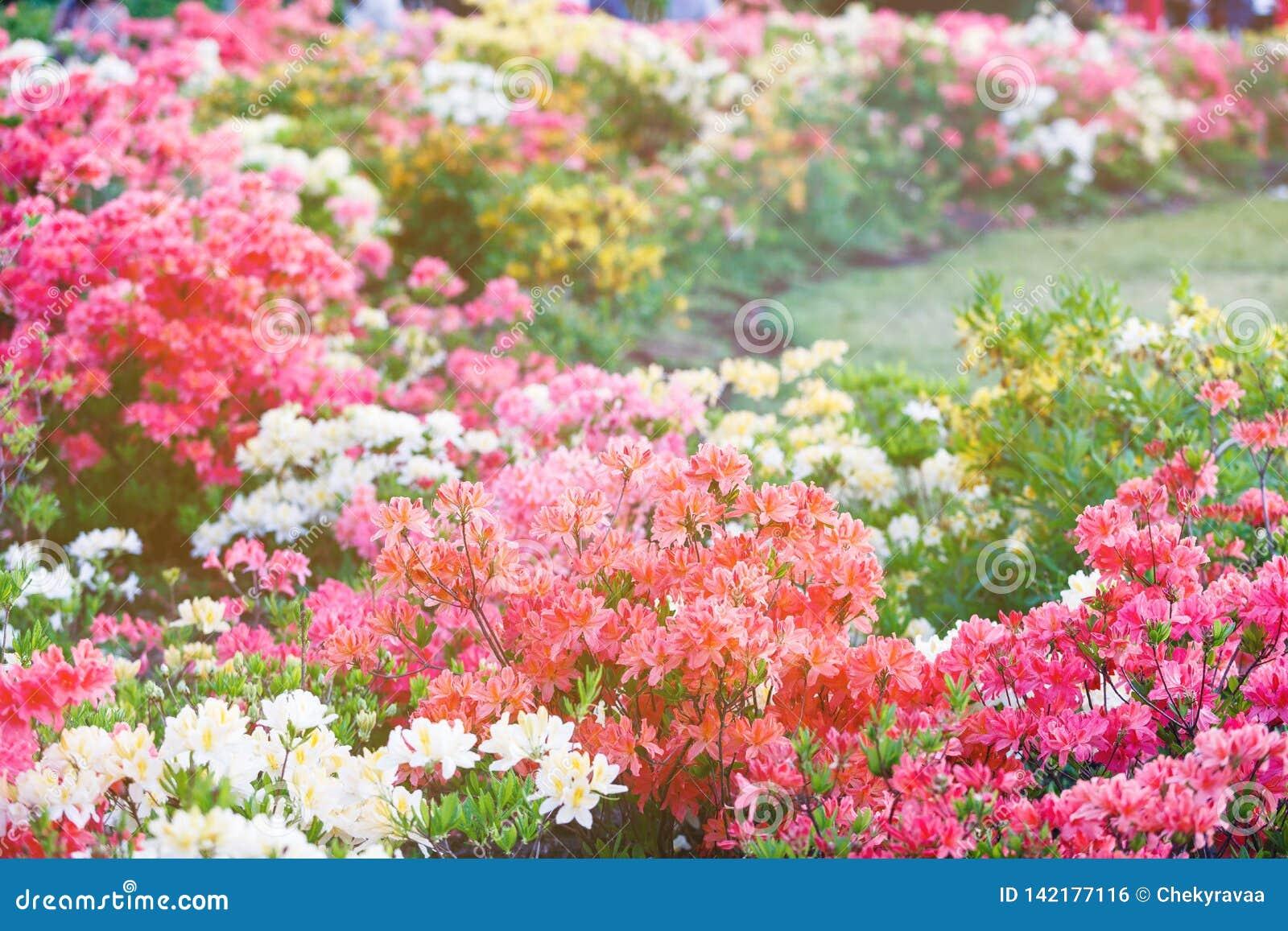 Kleurrijke gele roze azaleabloemen in tuin Bloeiende struiken van heldere azalea bij de lentezonlicht Aard, de lentebloemen