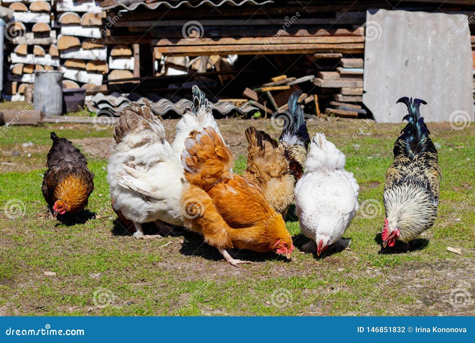 Kleurrijke hanen die zaden op het gras in de yard pikken