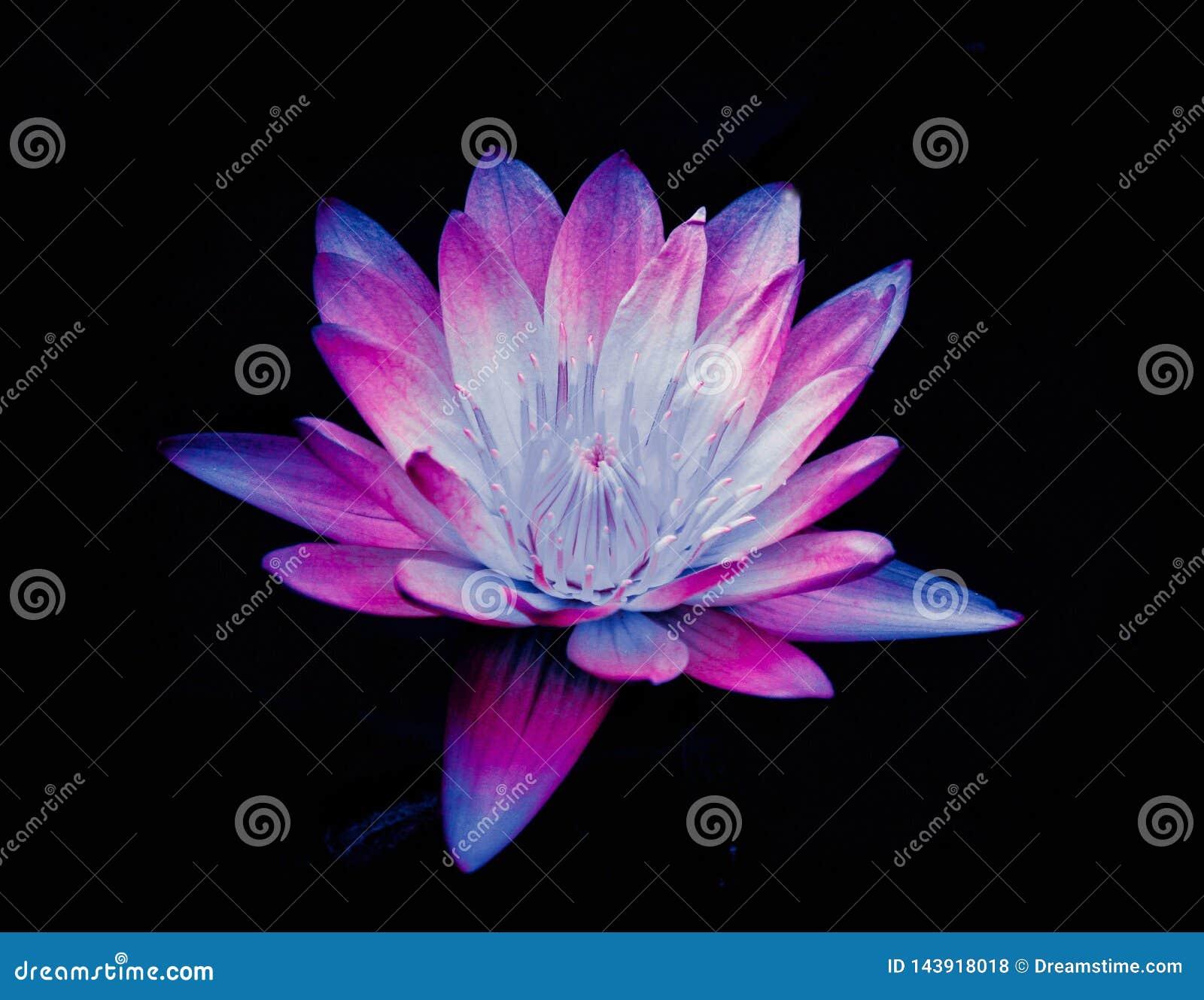 Kleurrijke lotusbloembloem in volledige bloei rode en roze lotusbloembloem