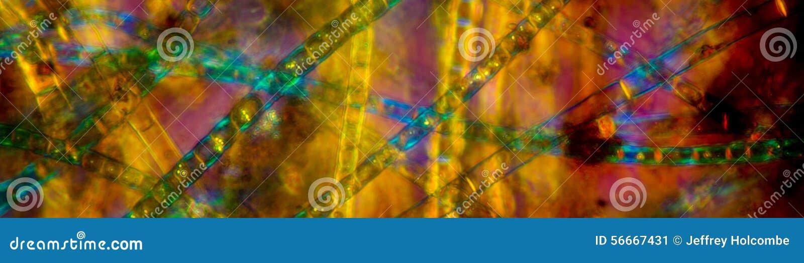 Kleurrijke, panoramische, het polariseren micrograaf van zoetwater, filame