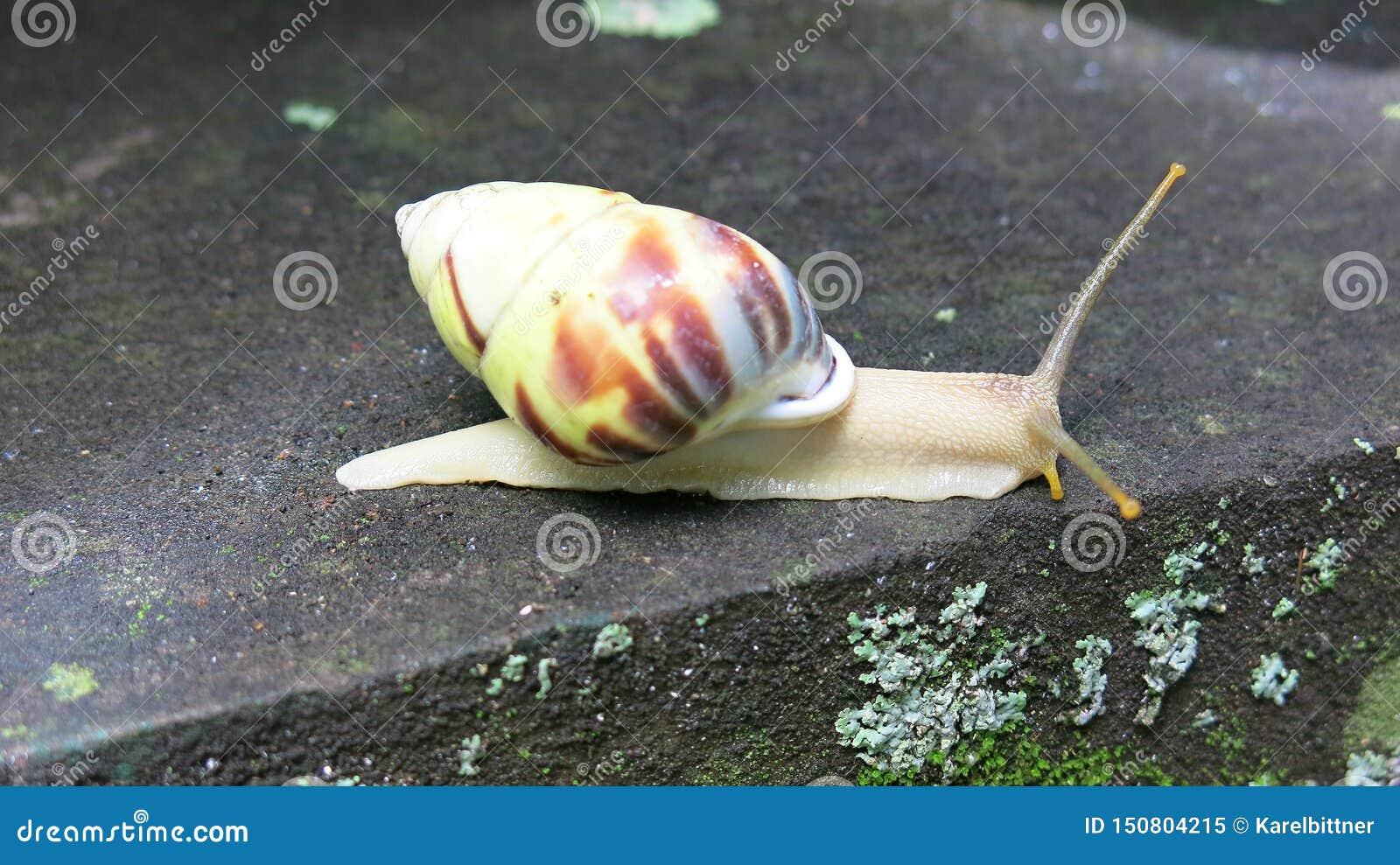 Kleurrijke slak op concrete stap Lange antennes Uit shell