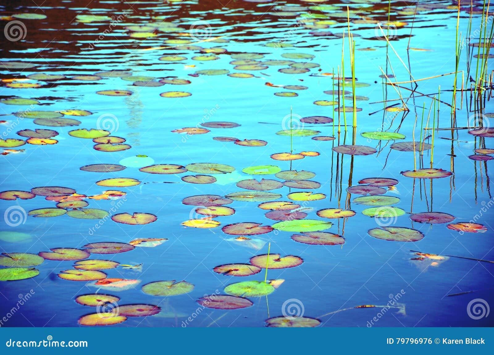 Kleurrijke waterlily vijver