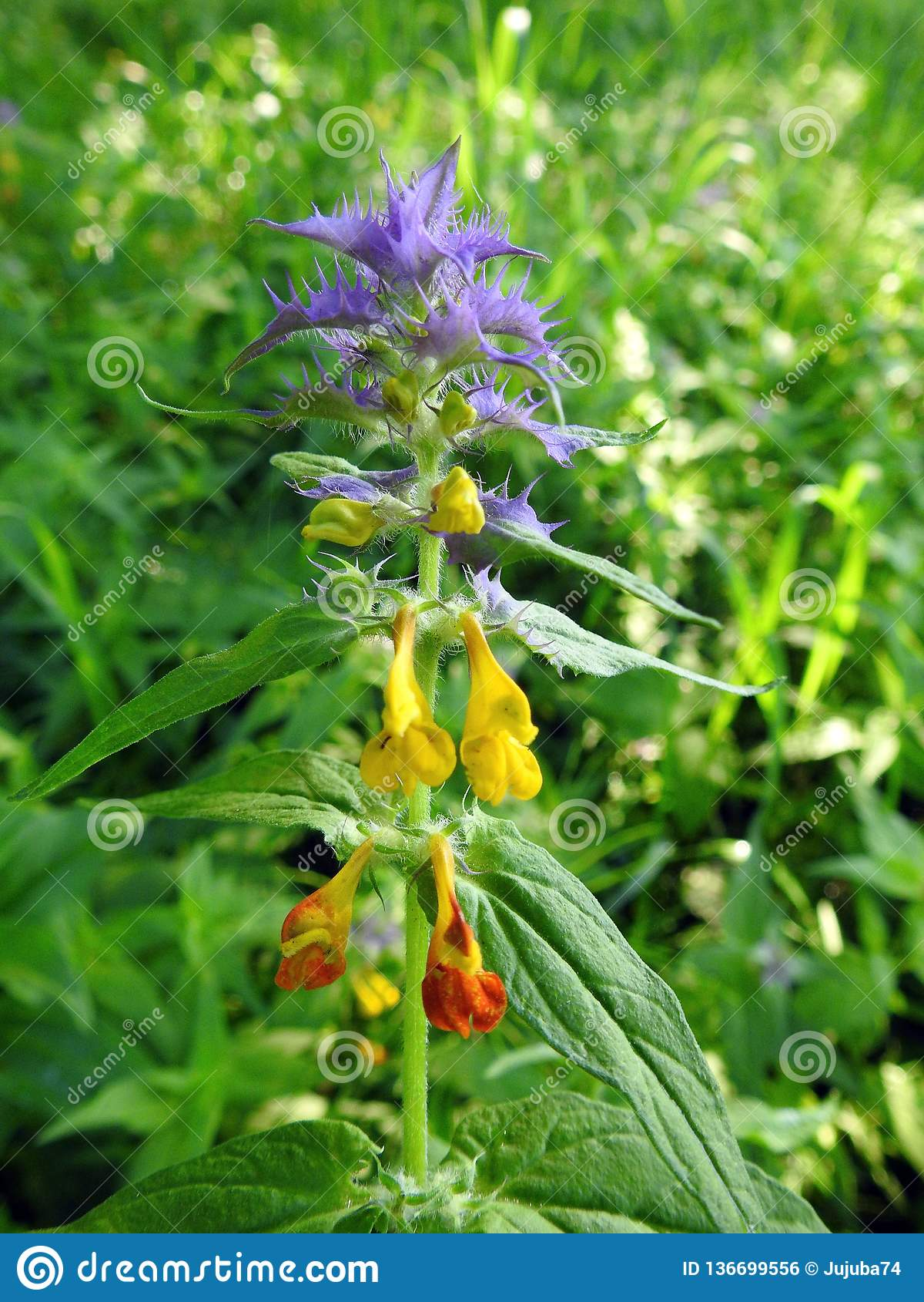 Kleurrijke wilde bloem in weide, Litouwen