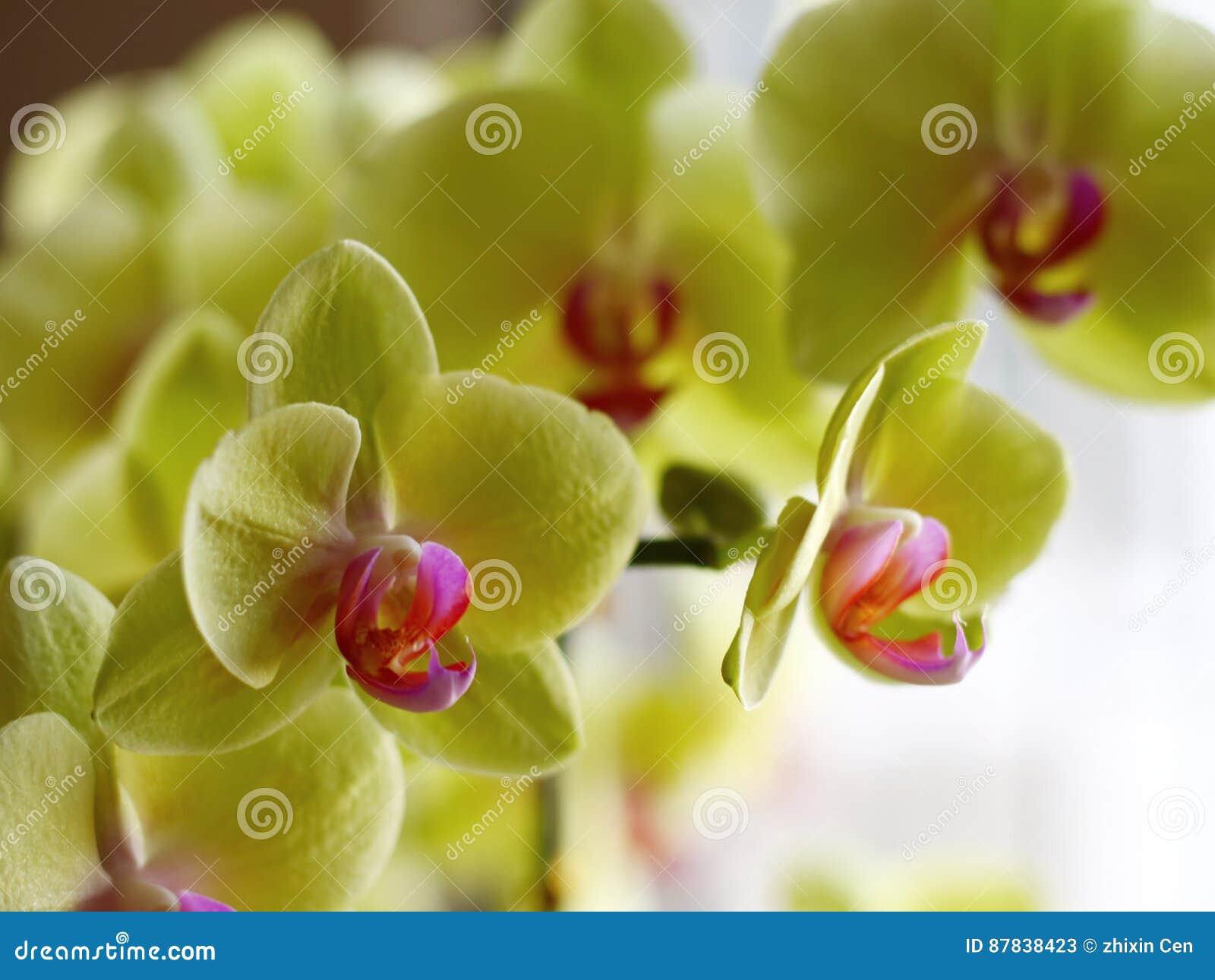 Klimatu kwiatu narastający storczykowy tropikalny kolor żółty