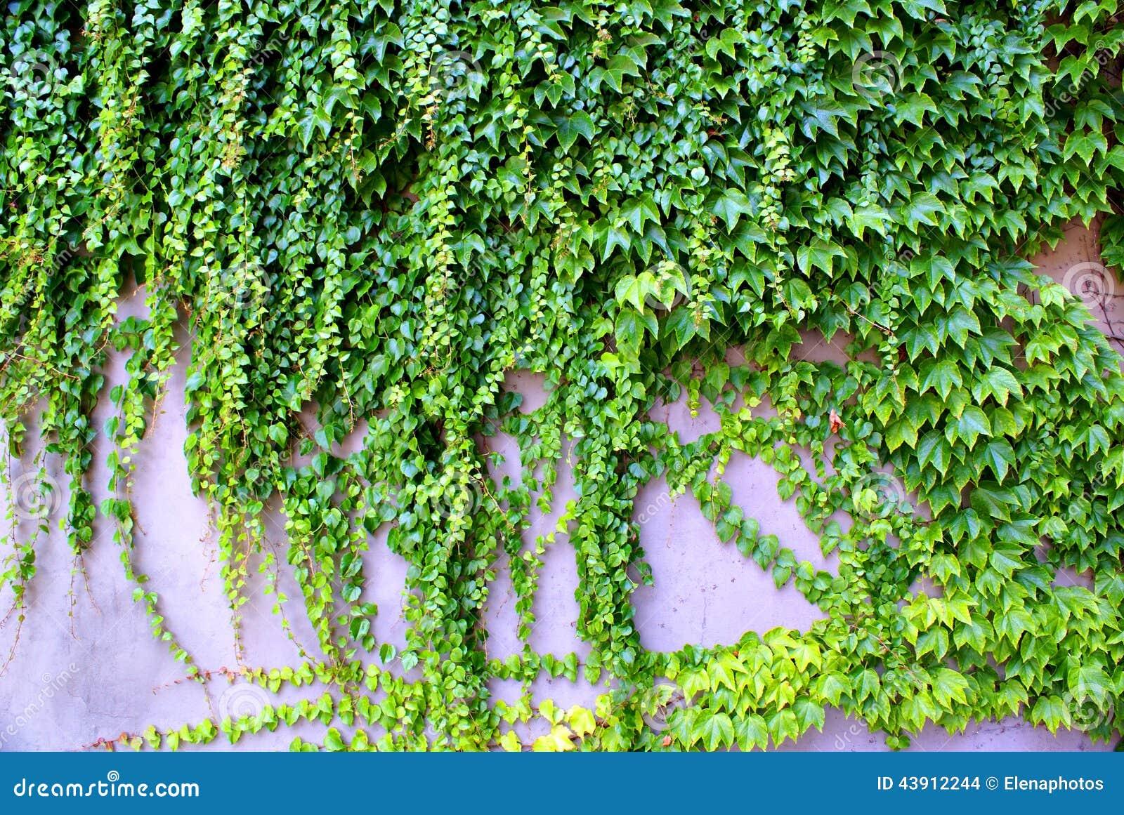 Klimop die - ooit groene installaties op de muur beklimmen