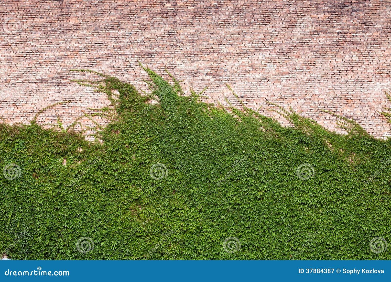 Klimop op de muur