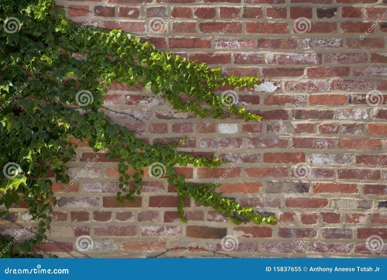Klimop op een bakstenen muur