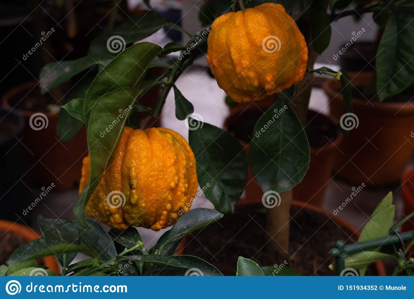 Klimpig orange frukt två