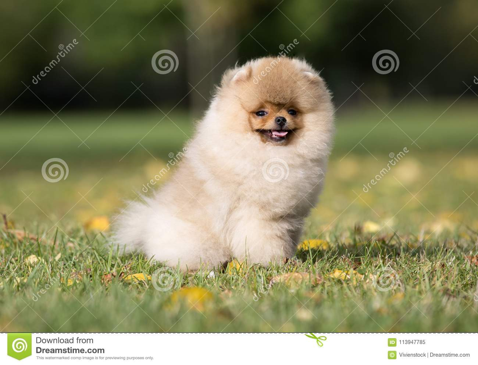 Pomeranian Klipp