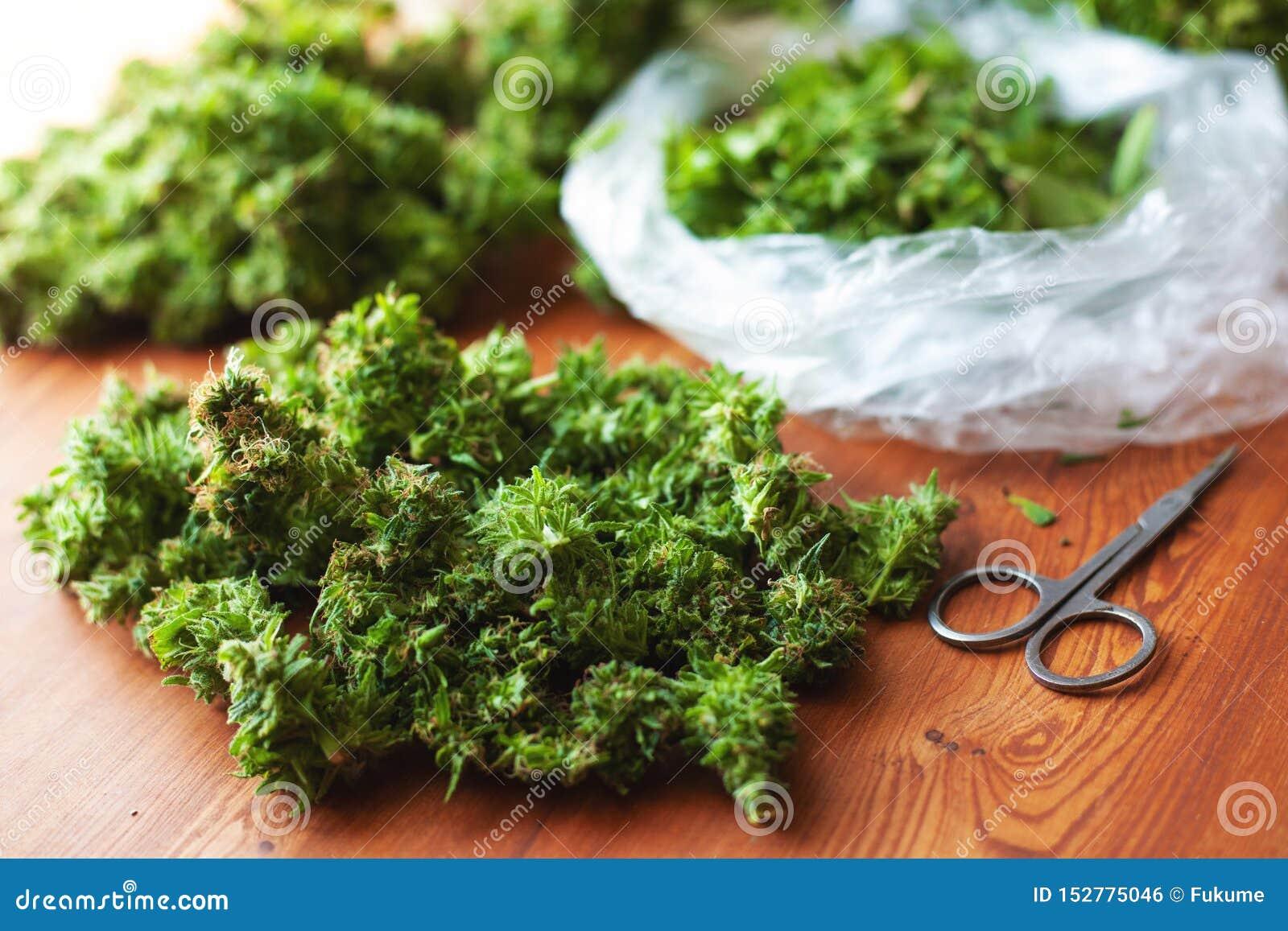 Klippa sidor och att sortera cannabisknoppar efter skörd, olagliga beskärarearbeten i USA för bearbeta av hampadroger