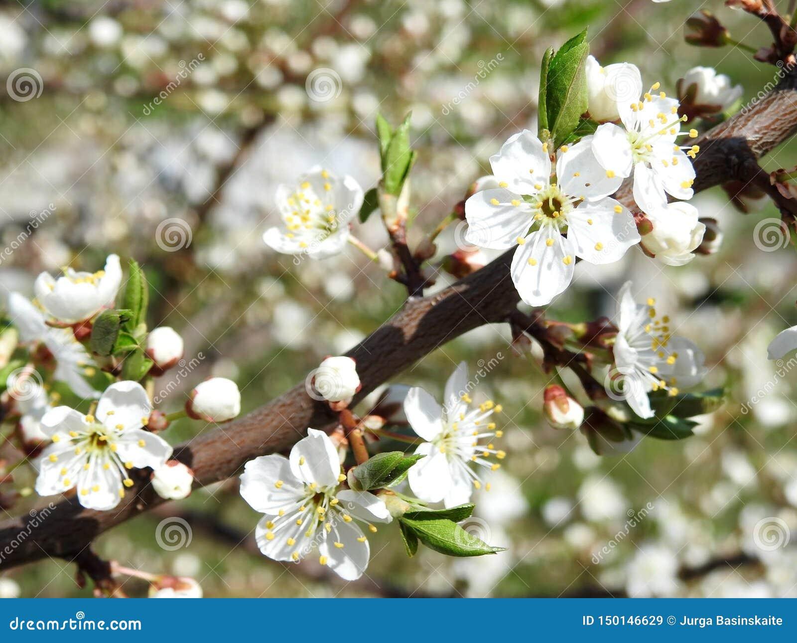 Klonowa gałąź z białymi kwiatami, Lithuania