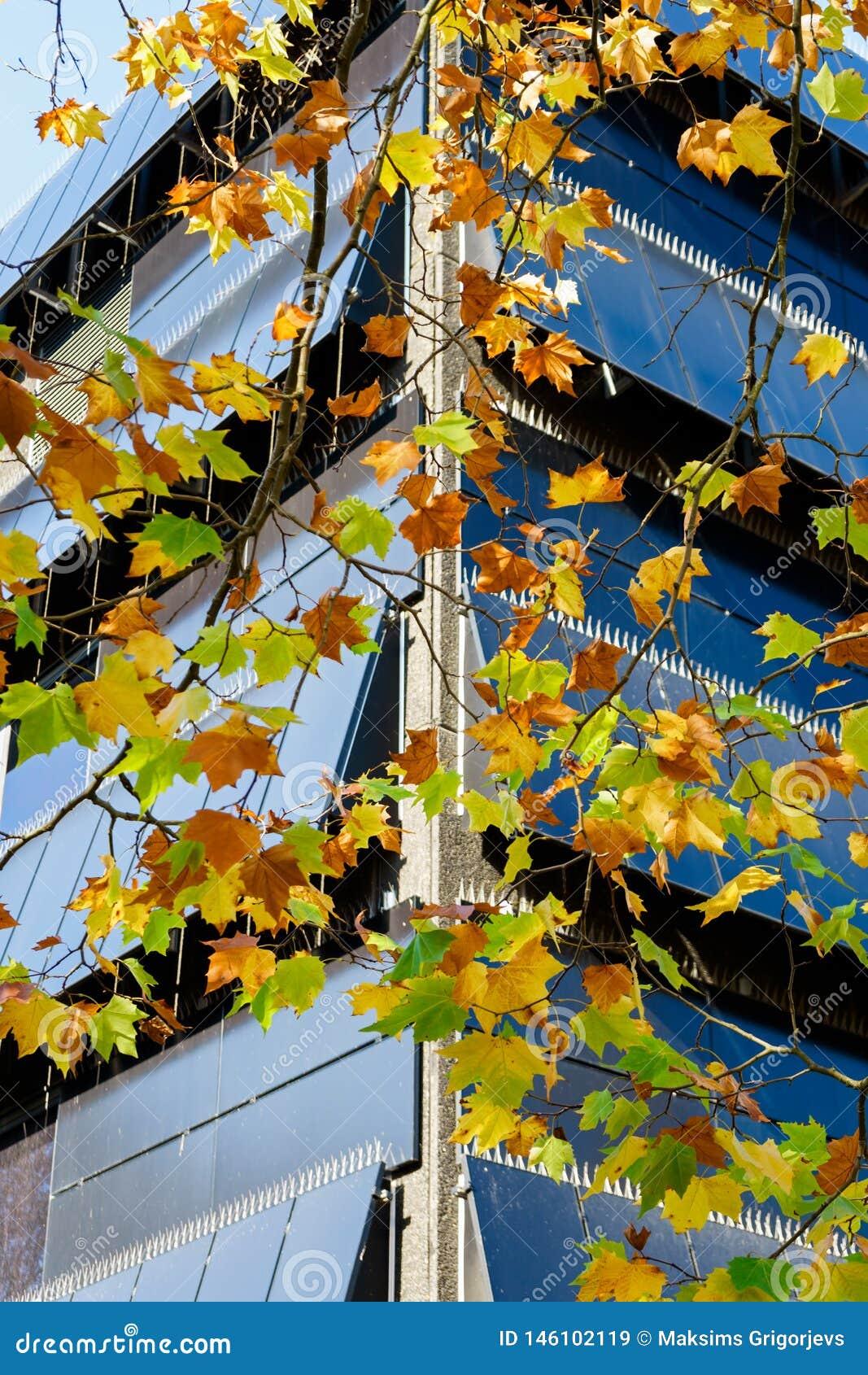 Klonowa gałąź z jesienią barwił liście i budynek biurowego na tle
