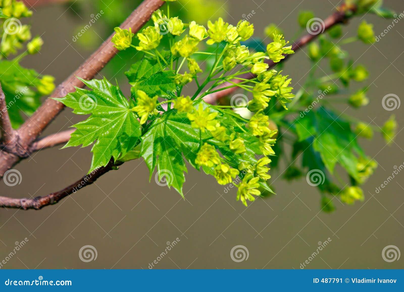 Klonowy kwiatów drzew