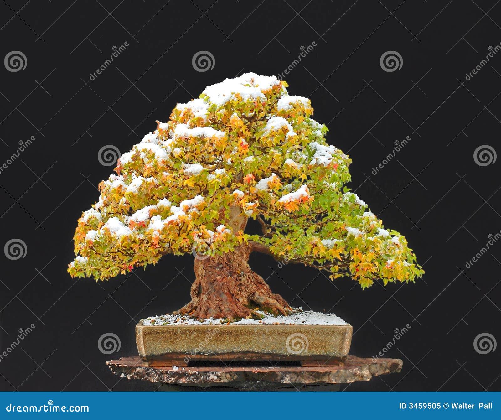 Klonowy trójząb bonsai.