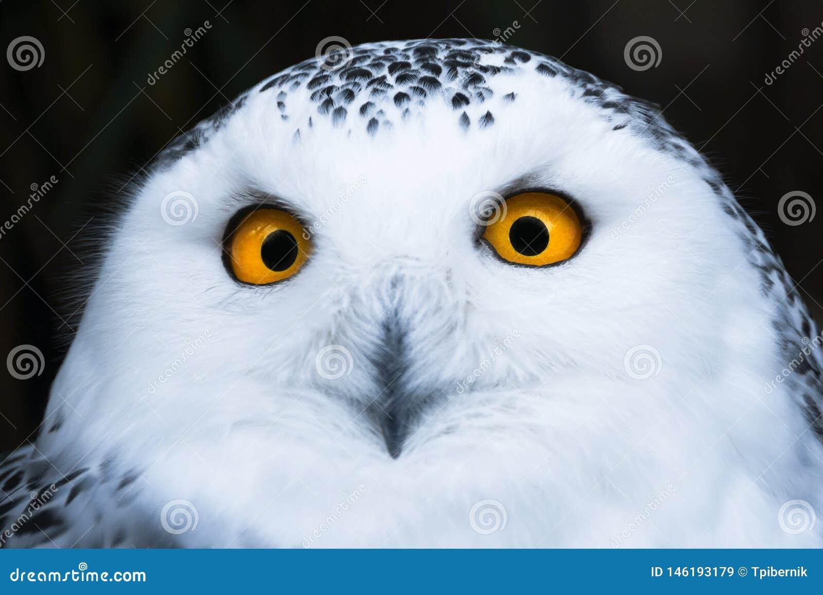 Kluge schauende wei?e Schneeeule mit gro?em orange Augenportr?t