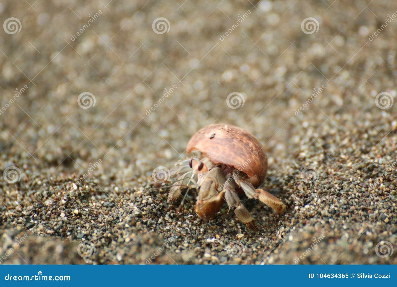 Download Kluizenaarkrab Op Het Strand, Costa Rica Stock Afbeelding - Afbeelding bestaande uit fauna, up: 104634365