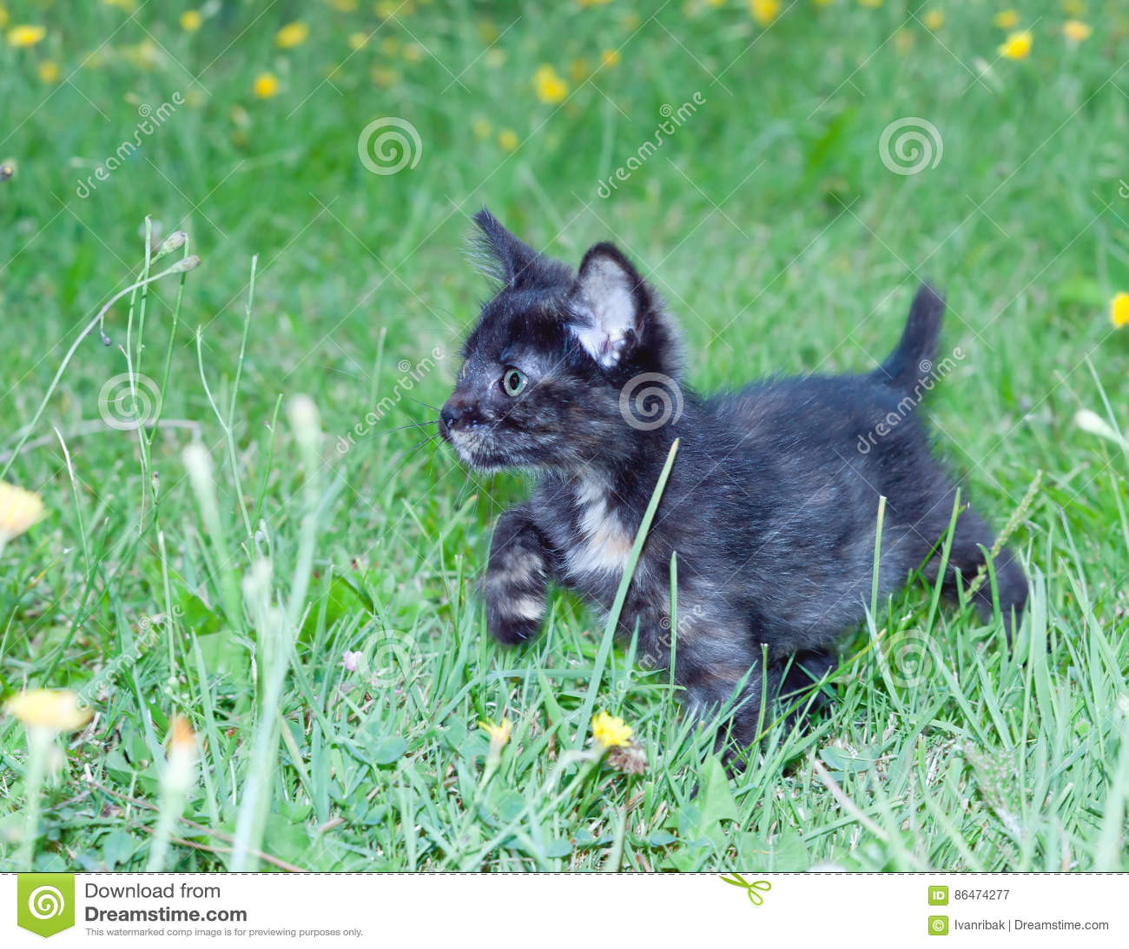 Klumpig liten kattunge på