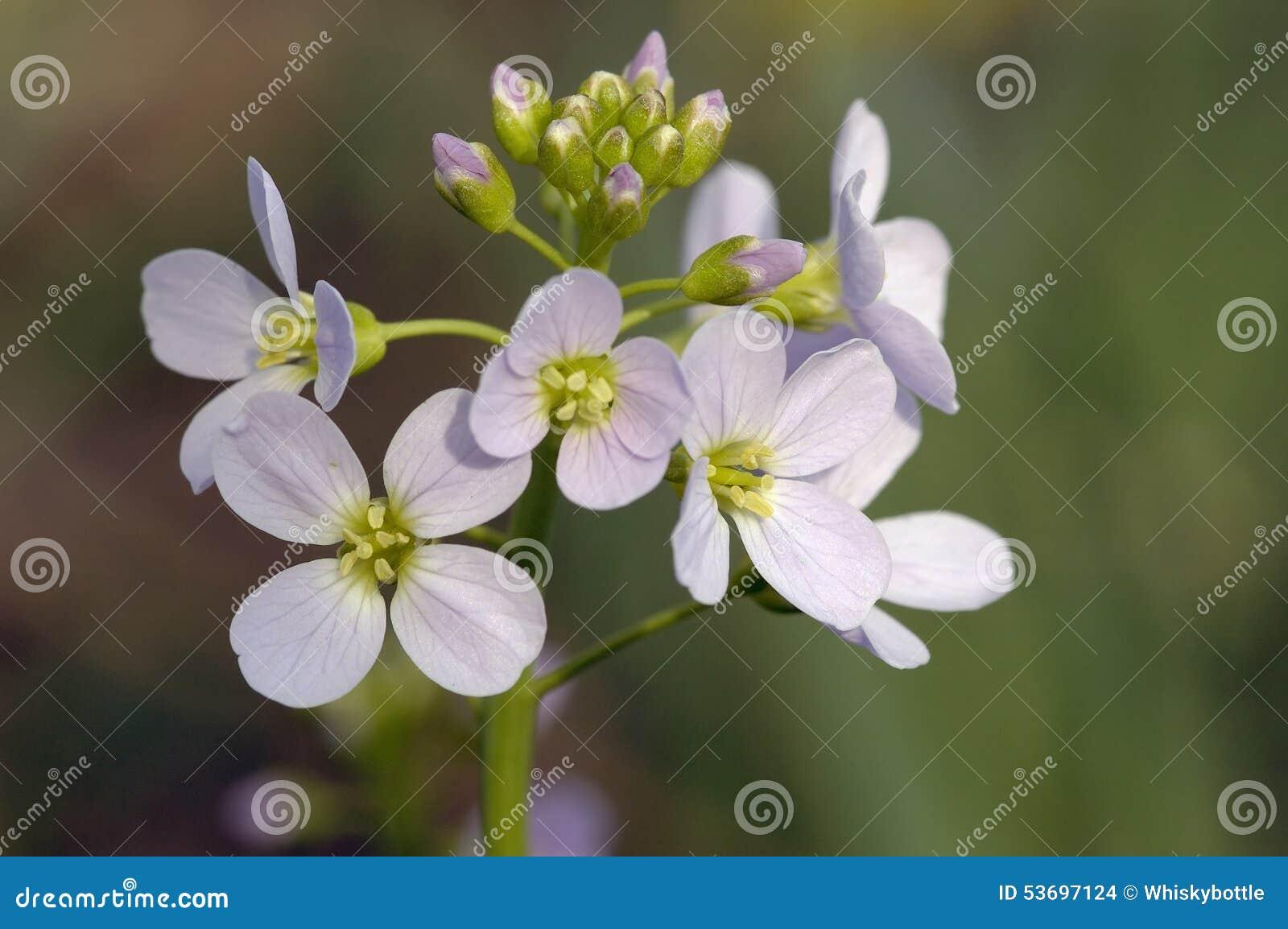 Knäpp blomma