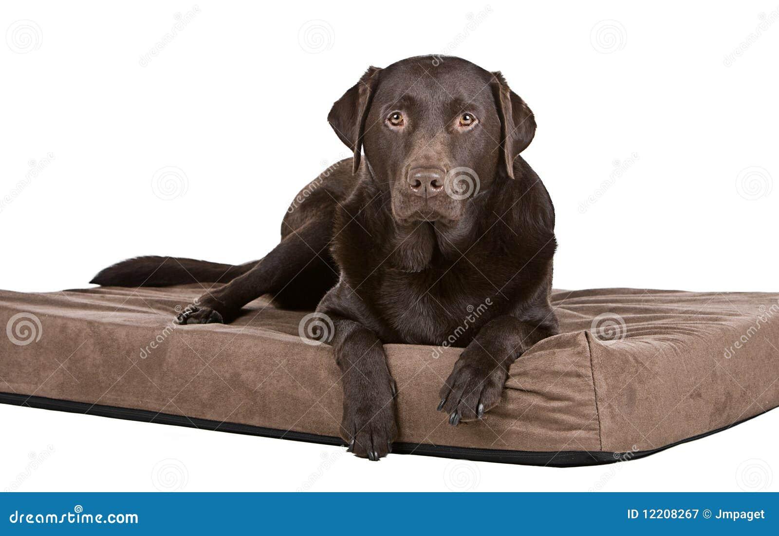 Knappe Chocolade Labrador op Bed. Op z n gemak!