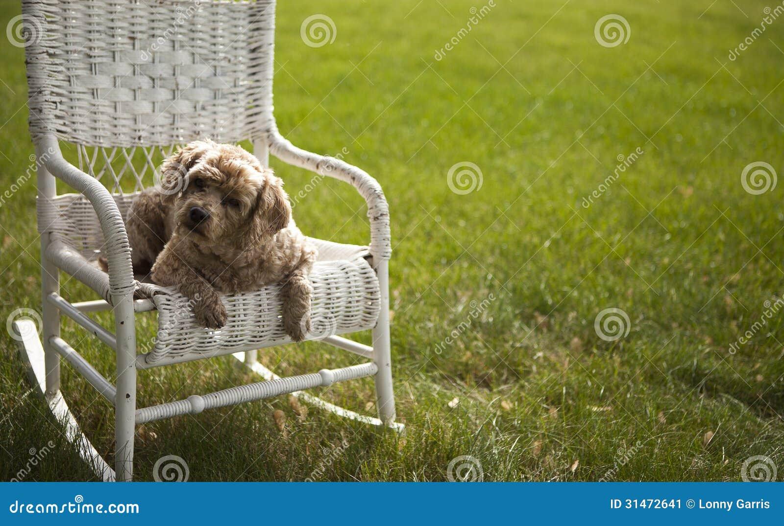 Witte Rieten Stoel : Knappe hond op een witte rieten stoel stock afbeelding afbeelding