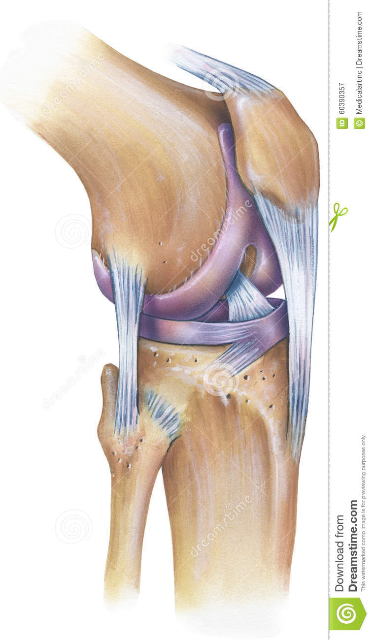 Knee - Anterolateral View stock image. Image of tibia - 60390357
